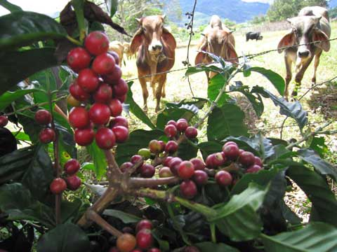 Coffee and cattle in farm