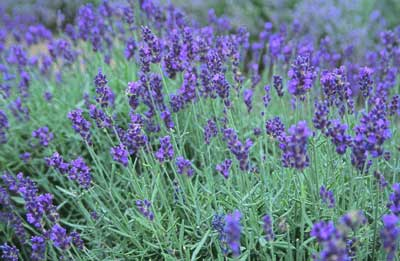 Lavender - Beautiful Inside & Out