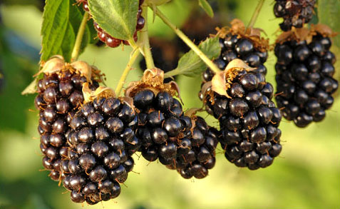 Blackberries Contain Ellagic Acid