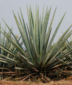 The Blue Agave Plant