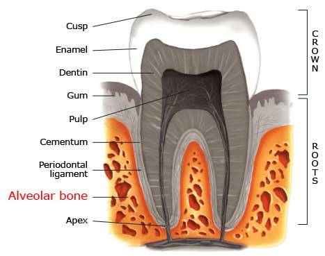 The Alveolar Bone