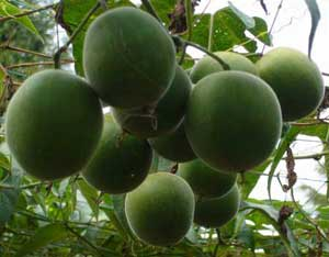 Luo Han Guo Fruit