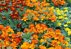 Marigolds Contain Lutein