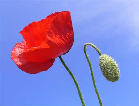 http://www.healthyfellow.com/images/2010/02/poppy-flower.jpg