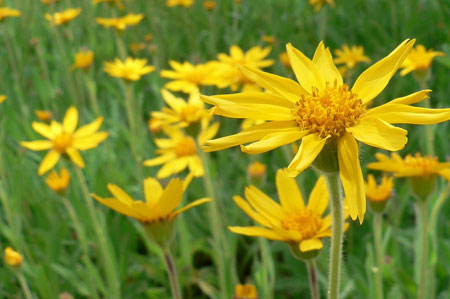 arnica montana for pain relief, Skeleton